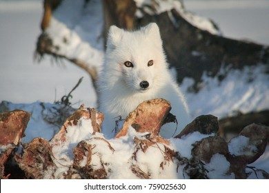 Wild adult arctic fox at whale bone pile with blood on coat