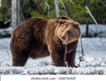 Wild Adult Brown Bear on the bog in early spring forest. Scientific name:  Ursus arctos.