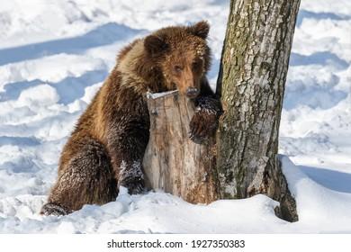 Wild adult Brown Bear (Ursus Arctos) in the winter forest. Dangerous animal in natural habitat. Wildlife scene