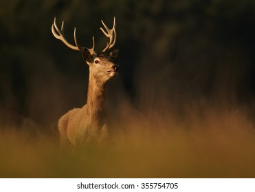 Wild, adult dominant Cervus elaphus Red deer male, coming from orange illuminated, high autumn grass, staring directly at camera. Dark background, early morning soft light. Europe. Front view.