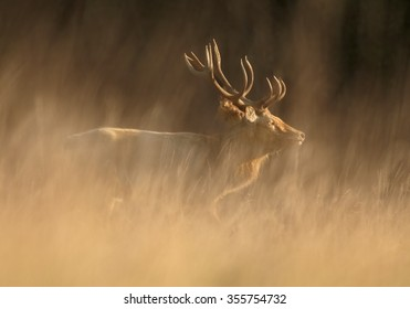 Wild, adult dominant Cervus elaphus Red deer male, coming from orange illuminated, high autumn grass, looking for females. Dark background, early morning soft light. Europe.