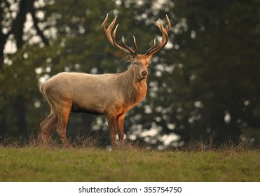 Wild, adult dominant Cervus elaphus Red deer male, coming from orange illuminated, high autumn grass, staring directly at camera. Dark background, early morning soft light. Europe.