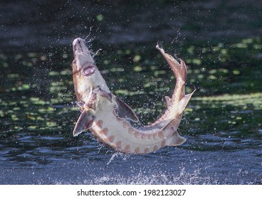 Wild Adult Gulf sturgeon - Acipenser oxyrinchus desotoi - jumping out of water on the Suwannee river Fanning Springs Florida. Underside view showing mouth and whiskers. Close up of photo 2 of 4