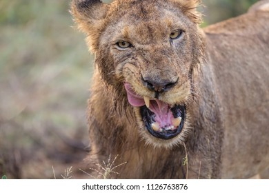 Wild adult lion looking aggressive, African Wildlife