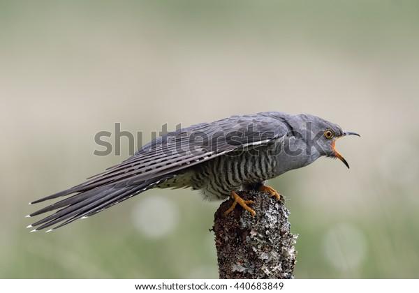 Wild adult Male Cuckoo (Cuculus canorus) calling. Image taken in Scotland, UK.