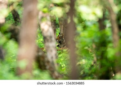 Wild adult male ranthambore tiger Sneaking from treen trunks and leafs in monsoon green background at ranthambore national park, rajasthan, india - panthera tigris tigris