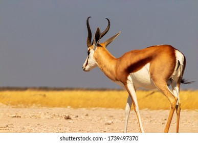 Wild african animals. The springbok (medium-sized antelope) in tall yellow grass against a blue sky. Etosha National park. Namibia