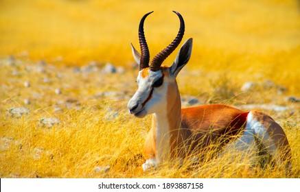 Wild african animals. The springbok (medium-sized antelope) in tall yellow grass. Etosha National park. Namibia