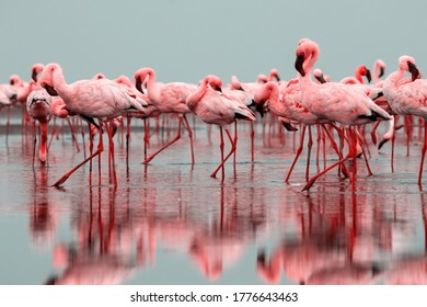 Wild african birds. Group of red flamingo birds on the blue lagoon. Walvis bay, Namibia