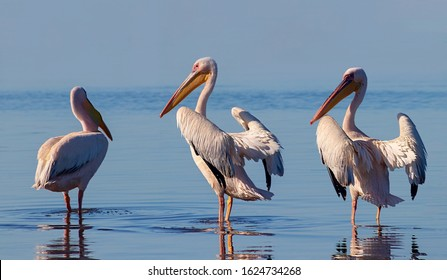 Wild african birds. A group of several large pink pelicans stand in the lagoon on a sunny day