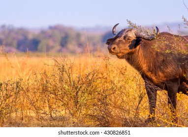 Wild African Buffalo with copy space