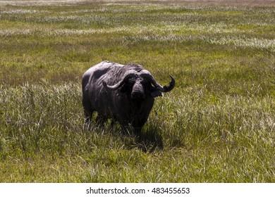 Wild African Cape Buffalo bull,    Tanzania   Africa