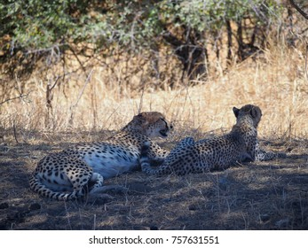 Wild African Cheetah Mother and Cub