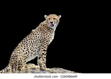 Wild african cheetah on black background
