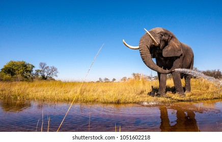 Wild African Elephant Drinking Water