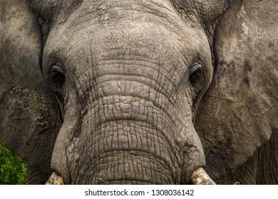 Wild African elephant in Queen Elizabeth National Park in Uganda Africa