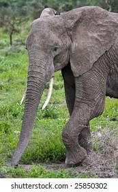 Wild African Elephant in Serengeti National Park