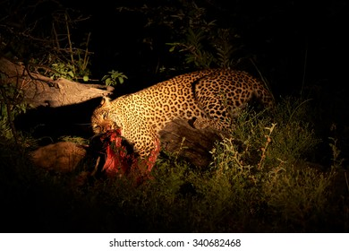 Wild African leopard, Panthera pardus, big male with a bloody prey at night, illuminated by spotlight. Wildlife photography in South Africa.   nocturnal predator on savanna. Timbavati reserve, Kruger.