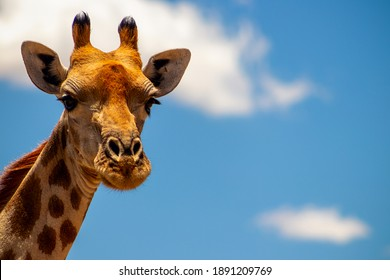 Wild african life. A large common South African giraffe on the summer blue sky. Namibia