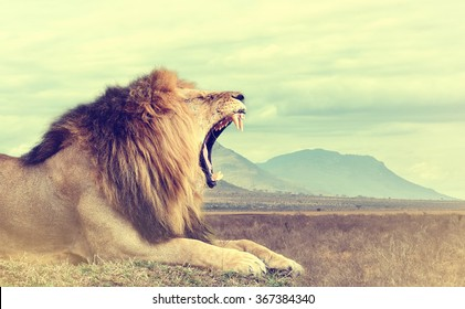 Wild african lion. Vintage effect. National park of Kenya, Africa