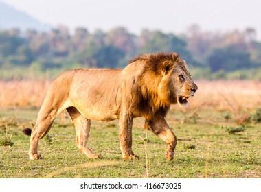 Wild African Lion walking across the savannah