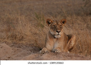 Wild African lioness in the savannah, with a collar around its neck. A noble predatory cat in its natural habitat.