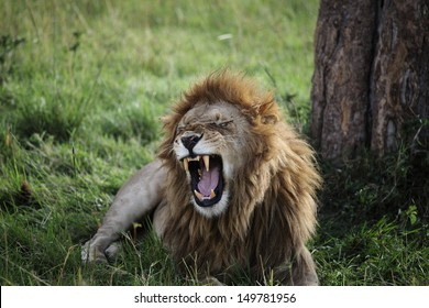 Wild African Male Lion Growling and Showing Dangerous Teeth