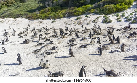 Wild African penguins at a colony in Boulder's Beach, Simon's Town, Cape Town, South Africa