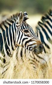 Wild African Zebra standing in tall grass