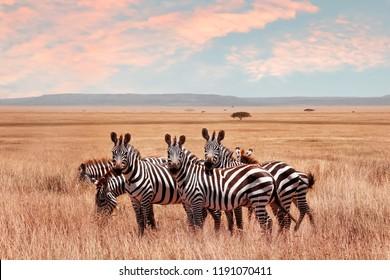 Wild African zebras in the Serengeti National Park. Wildlife of Africa.
