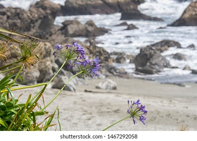 Wild agapanthus on the New zealand coast