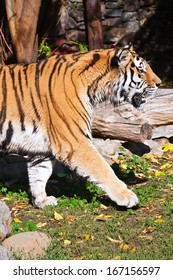 Wild and agressive Bengal tiger in zoo