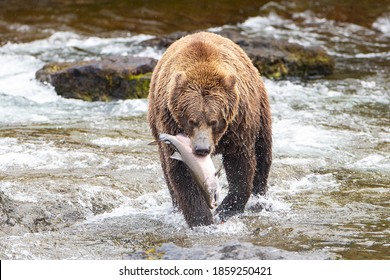 Wild Alaskan Grizzly bear with fresh caught Coho Salmon in river