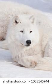 Wild alaskan tundra wolf is lying on white snow. Canis lupus arctos.
