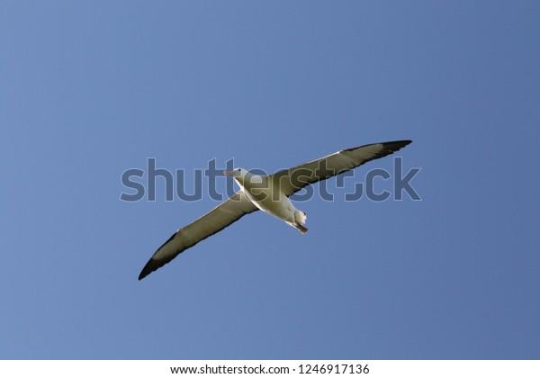 wild Albatros flying over coast of New Zealand