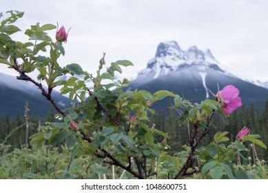 Wild Alberta rose, provincial flower of Alberta in front of majestic Rocky Mountain range