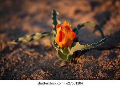 Wild Albert's Tulip (Tulipa alberti) in Betpak-Dala desert,  Kazakhstan, Central Asia