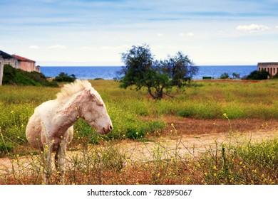 Wild albino donkey in Asinara park