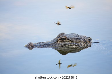 Wild Alligator, head on surface of calm lake.  Two insects overhead.  All reflected in the water.
