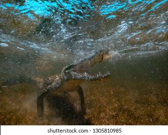 Wild Alligator underwater, Saltwater crocodile open jaws ready to attack, wildlife in sea water, marine predator