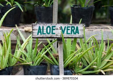 Wild aloe vera growing in a garden. Aloe vera sign.