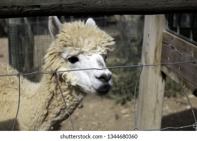 Wild alpaca caged, animals in captivity, mistreatment
