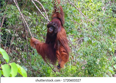 Wild alpha male orangutan hanging on a tree, solitary powerful adult individual, eating fruits provided by rangers at care centre. Full body picture. Sarawak, Malaysia, Borneo, South east Asia