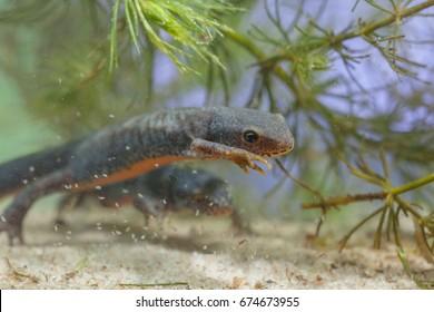 Wild Alpine Newt, Ichthyosaura alpestris, formerly Triturus alpestris and Mesotriton alpestris in a Natural Habitat Setting