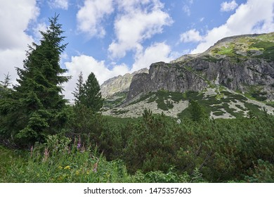 Wild alpine virgin forest in High Tatras mountains in Slovakia, highest mountain range in Carpathian Mountains consist mainly from dwarf mountain pines, Pinus mugo and spruce trees, Picea abies.
