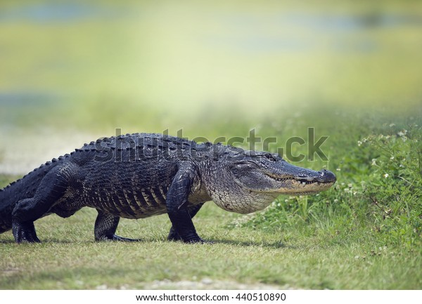 Wild American Alligator crossing a path