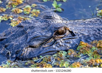 A wild, American Alligator (Alligator mississippiensis) basks as sunset approaches. American and Chinese Alligators are the only surviving alligator species in the world. Close-up of eye.