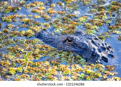A wild, American Alligator (Alligator mississippiensis) basks in a central Florida pond as sunset approaches. American and Chinese Alligators are the only surviving alligator species in the world.