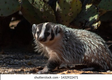 A wild American Badger, Taxidea taxus, black and white markings on native wildlife. Close up of a cute animal in the Sonoran Desert, prickly pear cactus background. Pima County, Tucson, Arizona. 2019.