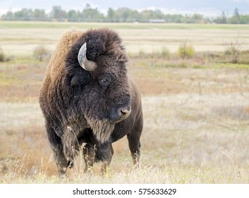 A wild American buffalo (Bison bison), taken at the National Bison Range in Montana.